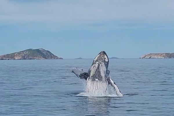 whale-breach-at-wilsons-prom47955755-BB8A-E8BA-A2E4-4B545736E76E.jpg